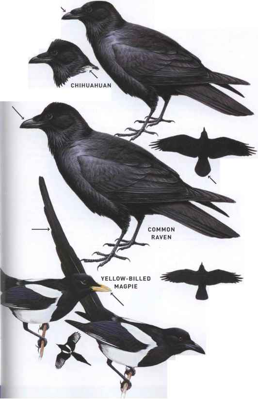 Crow Family Birds