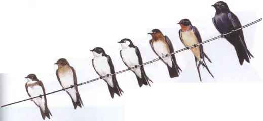 Tree Swallows Wire Images