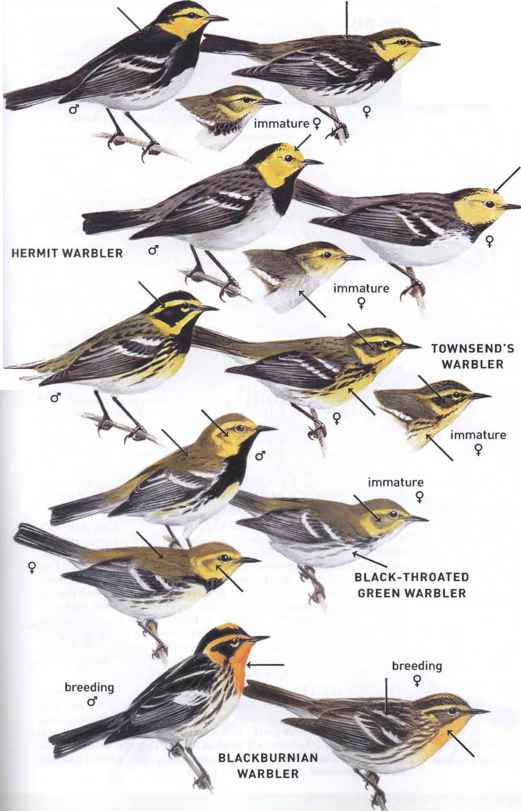 Orange Breasted Sparrow Wood Warblers Family P...