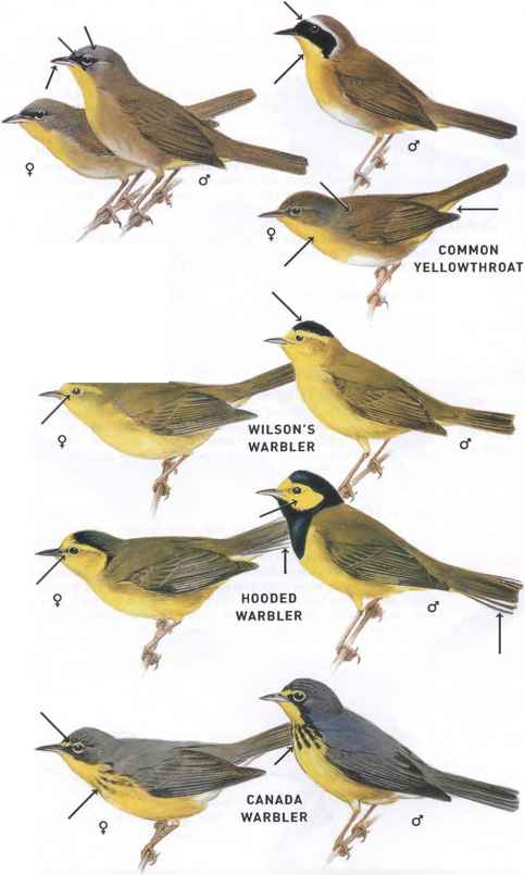 Grey Crowned Yellowthroat Warbler