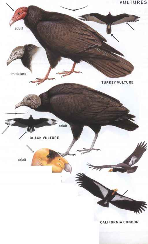 Eagle Vulture Underwing Chart