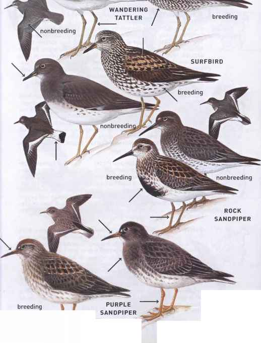 Sandpiper Migration Pattern