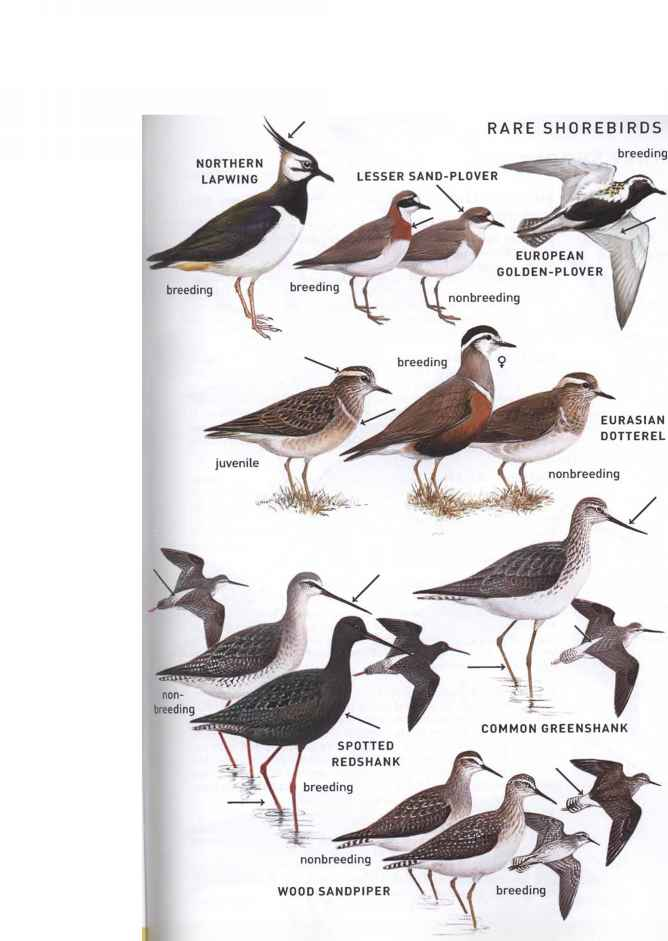 South Florida Duck Species