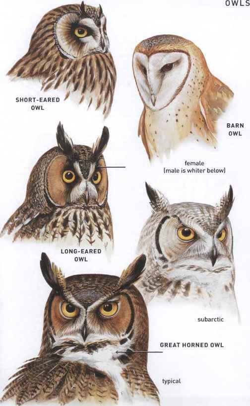 Families Tytonidae Barn Owls and Strigidae Typical Owls ...