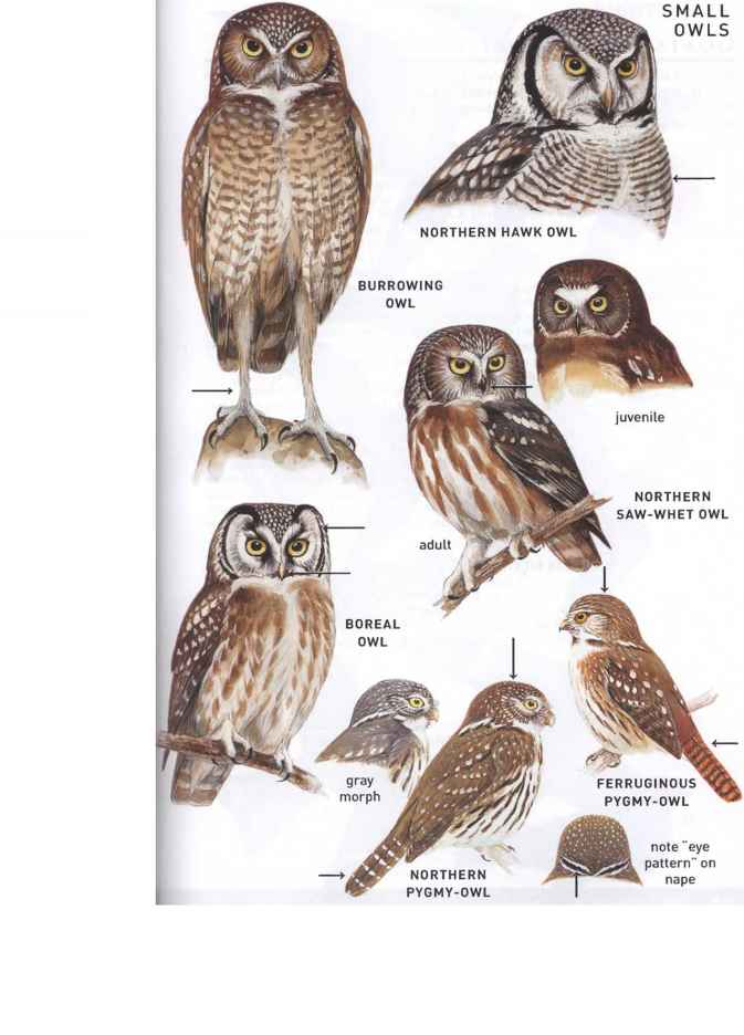 Burrowing Owl Migration Pattern