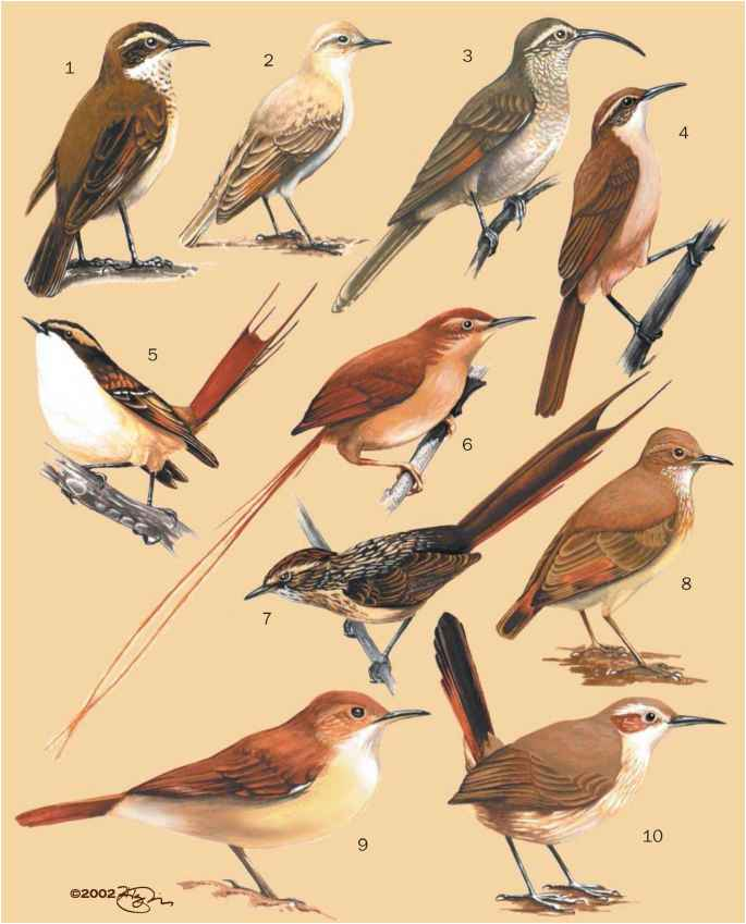 Thornbird Bird Species Africa