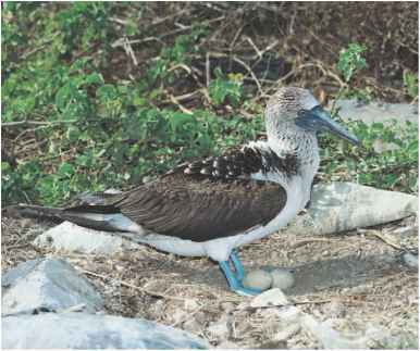 Brown Booby Bird